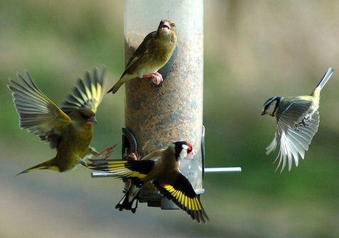goldfinch uk