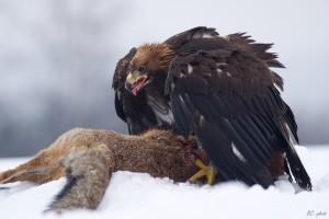The 3 Rarest British Birds Of Prey To See In Your Garden 2018